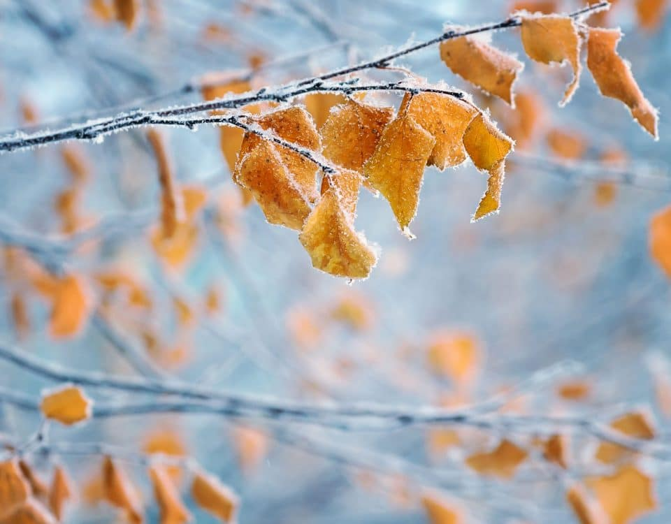 Birch with yellow leaves in frost
